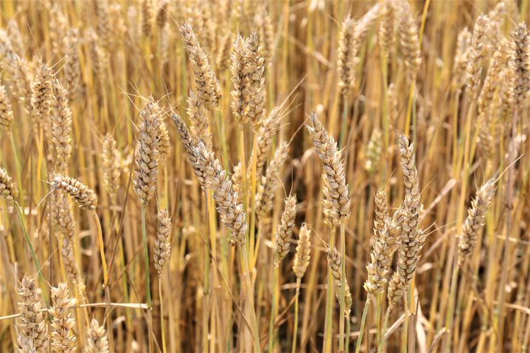 Tranquility Cereal Plant Growth Plant Nature Beauty In Nature Rural Scene Farm Agriculture Field Landscape Land Crop  No People Outdoors Food And Drink Full Frame Selective Focus Wheat Backgrounds Rye - Grain Close-up Stalk Oat - Crop
