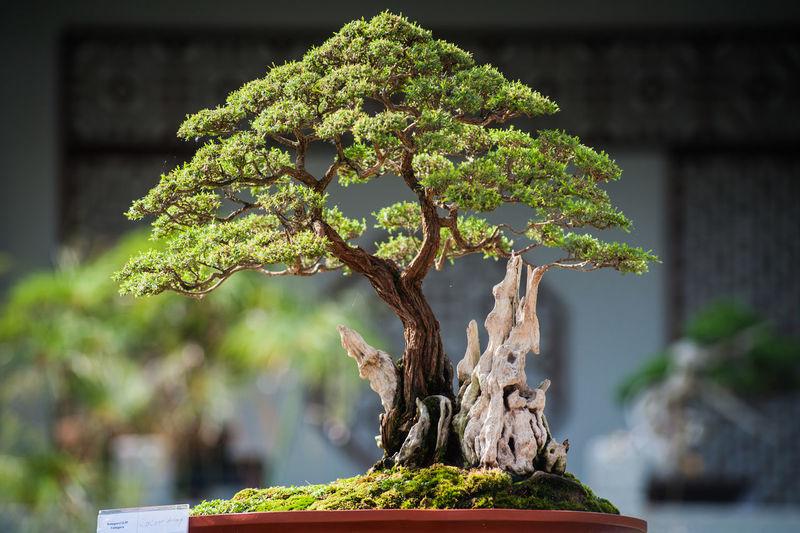 Bonsai tree in back yard