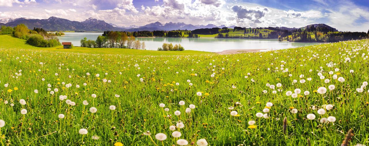 panoramic scene with meadow and lake Forggensee in region Allgäu Allgäu Bavaria Nature Panorama Panoramic Rural Scenic Tranquility Alps Beauty In Nature Forggensee Germany Lake Landscapes Meadow Mountain Mountain Range No People Panoramic Landscape Rural Scene Scenery Scenics Spring Springtime Wide Angle