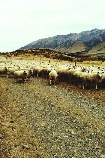 Sheep🐑 NZ :) New Zealand Canterbury Canterburynz Canterbury New Zealand Sheep Meadow Sheep Mountains Sheeps