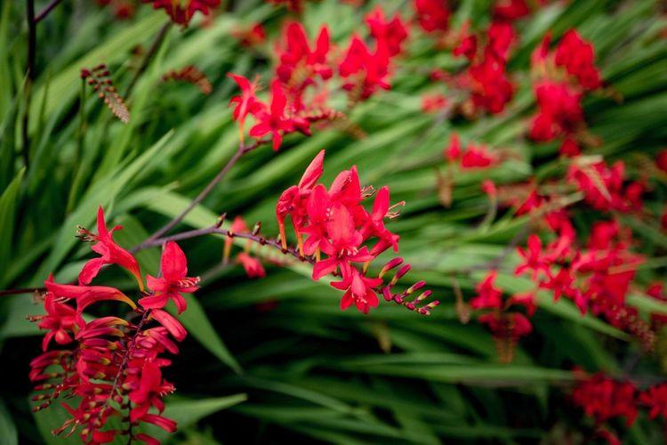 Flower Red Leaf