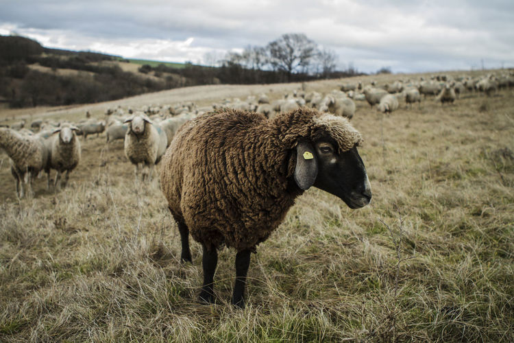 Animal Themes Beauty In Nature Blacksheep Business Day Domestic Animals Field Flock Of Sheep Grass Landscape Large Group Of Animals Livestock Mammal Nature No People Outdoors Sheep Sky