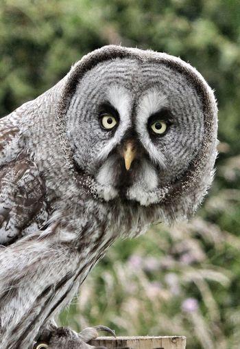 Great Gray Owl Great Grey Owl Owls💕 Owl Eyes Owl Photography Owl Art Owls Are Cute Owleyes Owllove Owl Close Up Owlsome One Animal Looking At Camera Eye Bird Of Prey Eye4photography  Macro Photography Eyeemphotography Close-up EyeEm Best Shots EyesAreTheWindowToTheSoul Birds Of EyeEm  Eye4photography