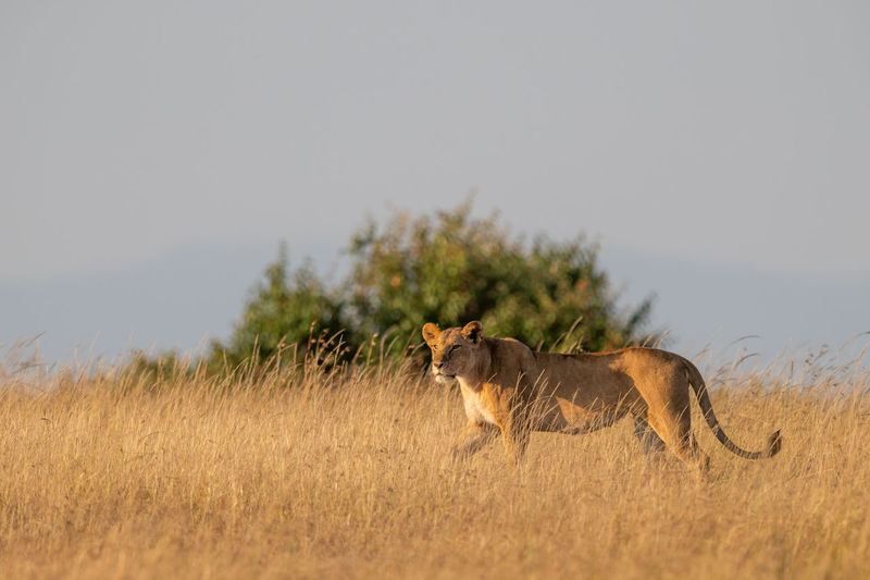 Lioness standing on grassy field against clear sky