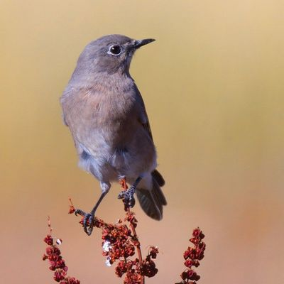 A female Mountain Bluebird perched on a Sun parched weed.. Utah Birding Bird Mountains Utahgram