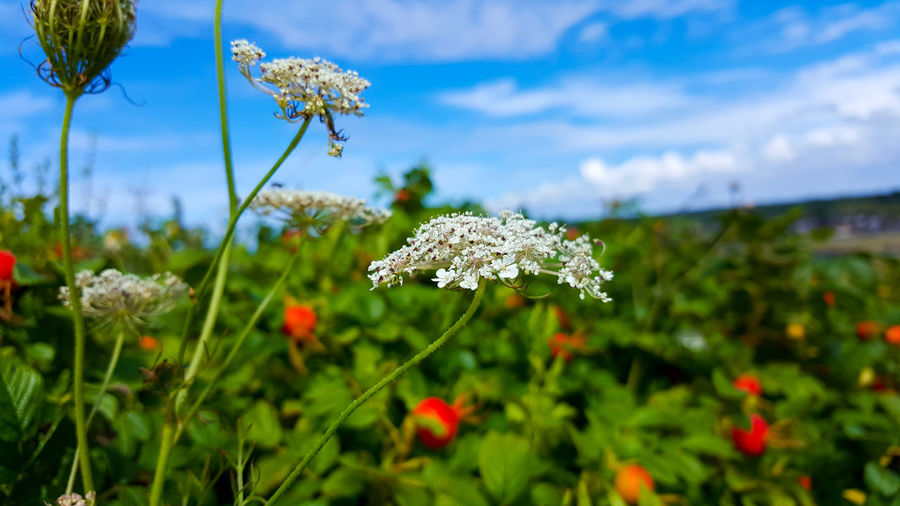 Close-up of cow parsley blooming on field