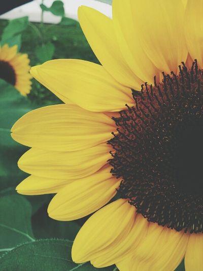Sunflower #beauty
