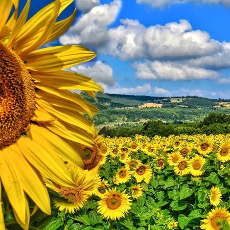 🙋🌻... . ~~~ ~~~ ~~~ . Ayçiçeği'nin Güneş'e Aşkı!.. Yunan mitolojisinden... * Clytie, Apollon'u (güneş) sever... Fakat Apollon onu küçümser... Yine de Clytie zamanını gökte Apollon'a bakmakla geçirir... Nihayet, hep güneşe dönen bir çiçeğe, günebakana-ayçiçeğine çevrilir... * İster günebakan olsun, ister ayçiçeği, Güneşe sevdasındandır dönüşü... . ~~~ ~~~ ~~~ ~~~ turkshutter phototr butikgezi fotografdukkanim hayatandanibaret günebakan opjektifimden kadraj_arkasi evrenselkareler ig_turkiye zamanidurdur benimkadrajim sendenbirkare manzaralar objejtifimdenyansiyanlar fotografiya turkkadraj ig_eurasia istanbuldayasam insta_anadolu photo_turkey imajanatolia fotografheryerde kadrajgezginleri ingfotogram birkadraj naturephotography bugununkaresi