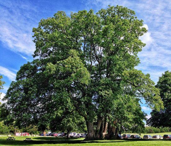 Tree Saltram Devon