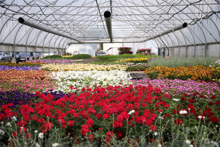 Red flowering plants in greenhouse