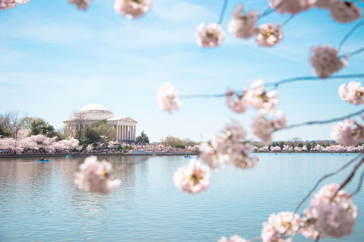 Cherry Blossom at Tidal Basin Beautiful Cherry Blossoms Clouds Lake Landscape Landscape_Collection Lincoln Memorial Out Reflections Spring Sunny T Tidal Basin Cherry Blossoms W Water Water_collection