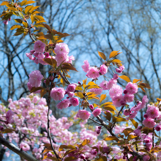 Japanese Colors Tree Flower Flower Head Branch Springtime Pink Color Blossom Close-up Sky