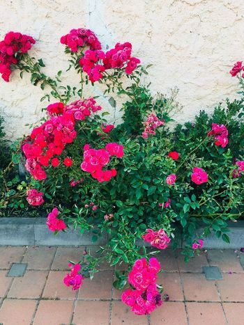 Flowers Flower Flowering Plant Plant Pink Color Freshness Beauty In Nature Fragility Vulnerability  Nature No People Petal High Angle View Growth Flower Head Day Multi Colored Wall - Building Feature Outdoors Footpath Inflorescence