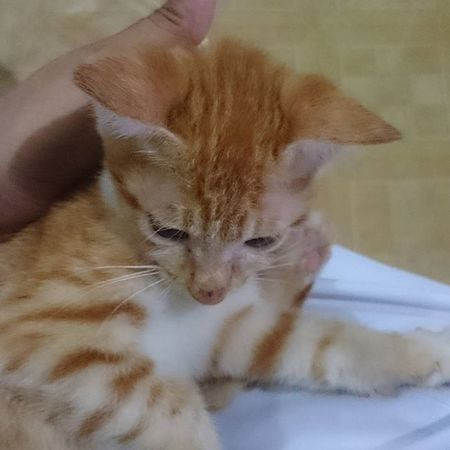 Baby Summers our little tiger. 😸 Perrysons FelineDomesticus AmericanBobtailCrossBreed Lazyfurr Summers