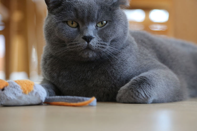 british shorthair cat lying on floor with toy mouse BKH Kater Animal Themes Bkh British Shorthair British Shorthair Cat Close-up Day Domestic Animals Domestic Cat Feline Indoors  Looking At Camera Mammal No People One Animal Pets Portrait Sitting Toy Mouse Whisker