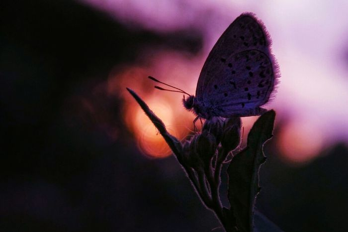 Insect Fragility Pink Color Plant Nature Flower Close-up No People Butterfly - Insect Purple Beauty In Nature Growth Outdoors Animals In The Wild Animal Wildlife Animal Themes Freshness Flower Head Sky Day