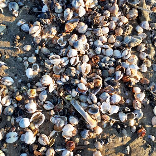 Abundance Large Group Of Objects Outdoors Beach Pebble Beach Seashell Beauty In Nature Cellphoneshot Cellphonephotography CellCaptuers Cellphonepics Cellclick Scenics Coquillages Conchiglie Marine Sand Sea