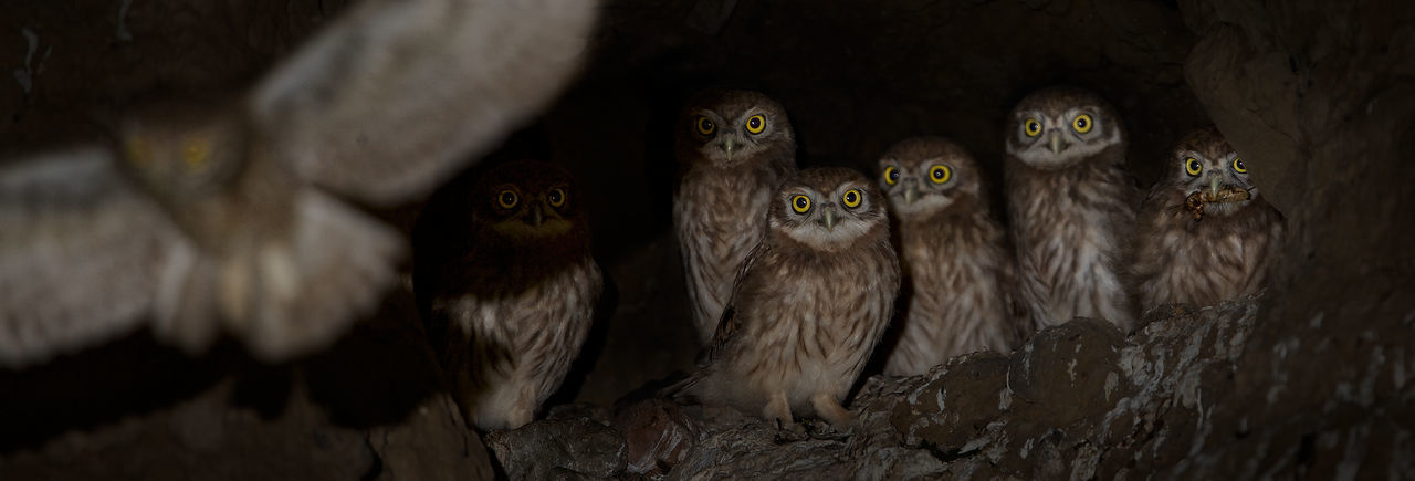 Little Owl & Her Babies Animal Themes Animal Wildlife Animals In The Wild Bird Of Prey Close-up Little Owls Looking At Camera Nature Night No People Owl Portrait