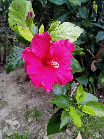 Flowers Flower Flowerporn Flower Collection Floers Hawaiianflower Hawaiian Hawaiianflowers Hawaiian Pink Flower Pink Hawaiian Flower Pink Flower