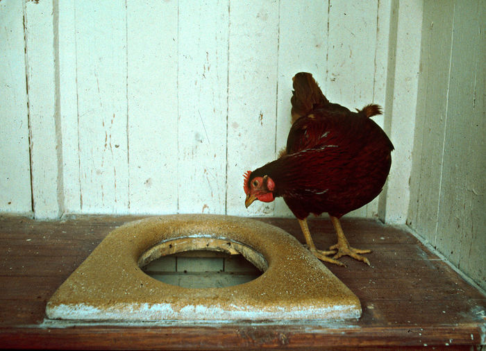 A Chicken In Outdoor Toilet A Traditional Chicken In Finland Animal Themes Bird Curiosity Ecolocycal Lifestyle Ecology Free Chickens Natural Chicken Care No People One Animal Sustainable Livestyle