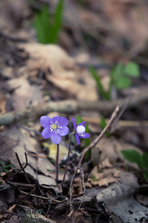 Beautiful fragile liverleaf flowers in spring. Spring blossoms in the forest. Cool film look, low saturation. Vertical image ready for mobile use. Hepatica Nobilis Anemone Flower Beauty In Nature Flower Freshness Growth Nature No People Outdoors Purple Spring