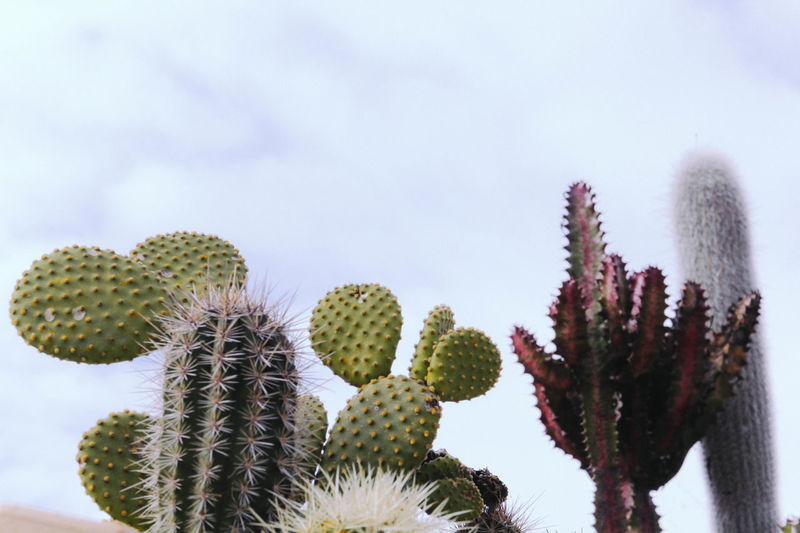 Beauty In Nature Cactus Close-up Day Flower Flower Head Fragility Green Color Growth Low Angle View Nature No People Outdoors Plant Prickly Pear Cactus Sky Spiked Thorn