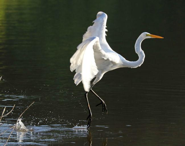 Egret Animal