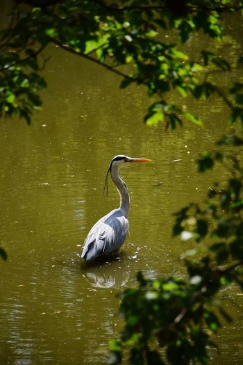 Bird Reflections In The Water Branches And Water Outdoor Photography Day Sunlight Sunshine Waterfront Animal Themes Animal Wildlife Animals In The Wild Animal Head  Animal Body Part Animal Eye Animal Photography Animal Representation Animal Face Animal Neck Animal Pond Water Pond Bird Water Gray Heron Tree Heron Beak Water Bird