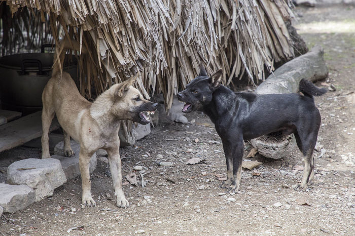 Aggression  Animal Animal Themes Animals In The Wild Canine Day Dog Domestic Domestic Animals Group Of Animals Land Mammal Nature No People Pets Standing Togetherness Two Animals Vertebrate Young Animal