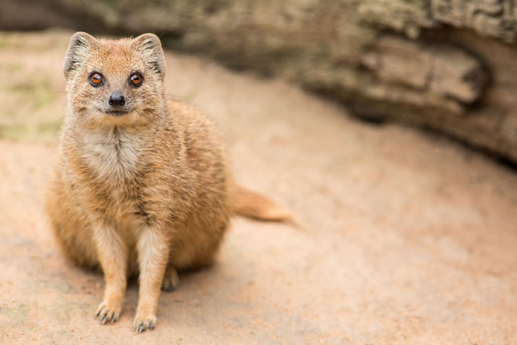 Copy Space Cynictis Penicillata FUNNY ANIMALS High As A Kite☁ Zoo Animal Wildlife Copyspace Curious Curious Animals Day Front View Looking Looking At Camera Mammal Mongoose Nature No People One Animal Outdoors Portrait Red Meerkat Sitting Yellow Mongoose Zoo Animals  Zoology