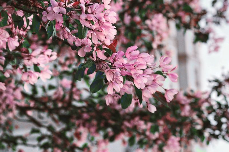 Pink Flower Plant Growth Flowering Plant Pink Color Flower Tree Freshness Nature Day