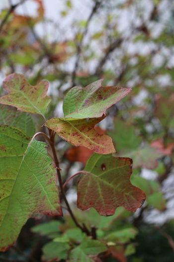 Close-up of maple leaf on tree
