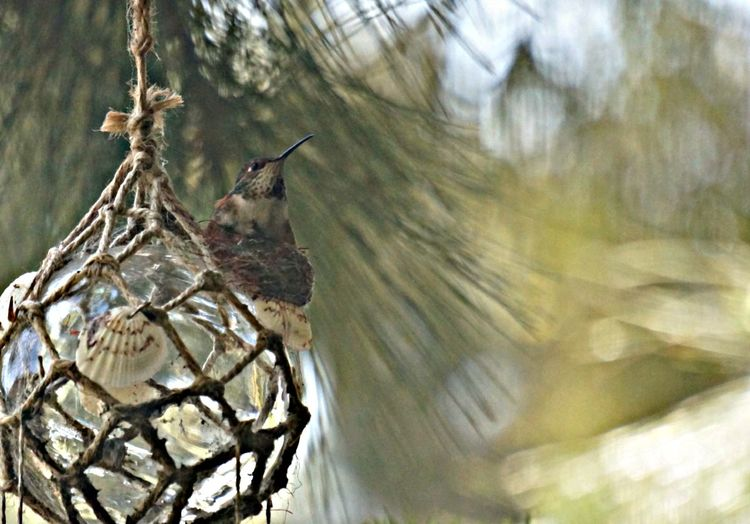 Animal Wildlife Beauty In Nature Bird Bird Nest Bokeh Background Close-up Day Focus On Foreground Glass Sphere Humingbird Natural Colours Nature Nesting No People Outdoors Sea Shells Selective Focus Sothern California Spring Tranquility