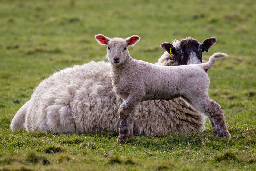A young lamb with its mother Animal Themes Domestic Animals Field Grass Grassy Lamb Lambing Lambing Season Livestock Mammal Sheep Spring Springtime Two Animals Young Animal