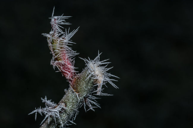 Frozen ! Black Background Frozen Ice Plant Winter Backround Beauty In Nature Close-up Cold Temperature Day Focus On Foreground Fragility Free Space For Text Growth Ice Crystals Nature No People Outdoors Plant Rose🌹