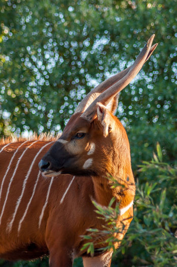 Animal Animal Hair Animal Head  Animal Themes Antelope Bongo Brown Close-up Day Domestic Animals Domestic Cattle Focus On Foreground Herbivorous Livestock Mammal No People One Animal Outdoors Tree Zoology