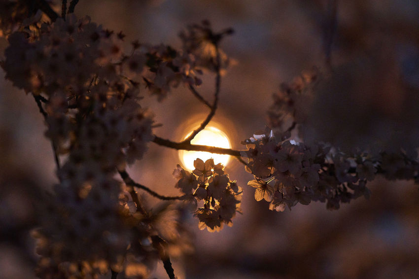 Cherry Blossom Cherry Blossoms Night Lights Night Photography Nightphotography Beauty In Nature Cherry Tree Cherryblossom Close-up Flower Flowering Plant Focus On Foreground Fragility Freshness Growth Nature Night Night View Nightshot No People Outdoors Plant Selective Focus Tree Vulnerability
