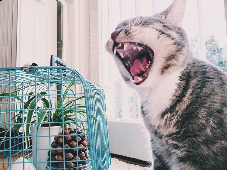 Open Mouth Mouth Open Funny Mouth Pet Mammal Fur Furry Animal Kitten One Cat Tounge Out  Tounge Face Cat Face Feline Sleepy Canine Interior Pets Sleepy Kitty Sleepyhead Yearning Wild