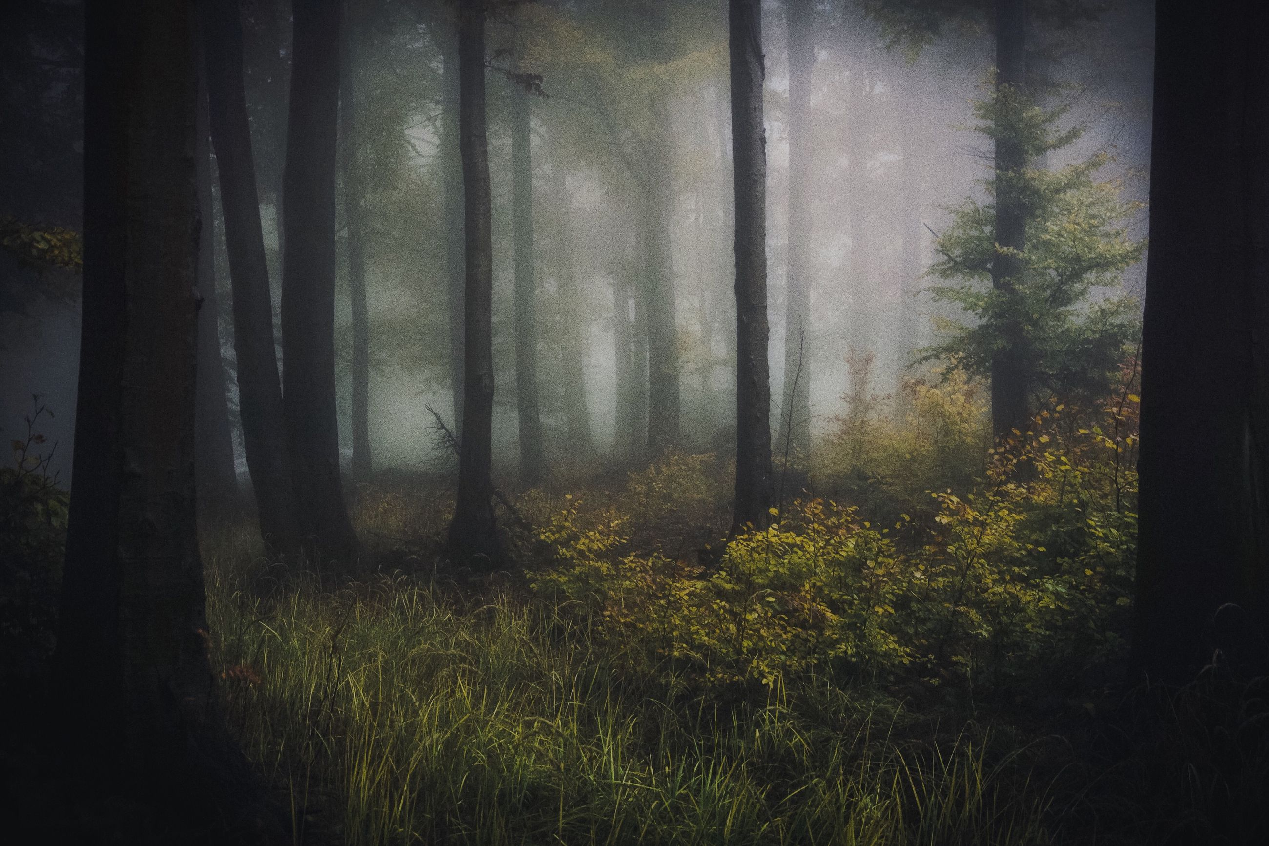 forest, tree, tranquility, tranquil scene, tree trunk, growth, plant, fog, nature, beauty in nature, woodland, scenics, foggy, non-urban scene, day, outdoors, solitude, mist, green color, wilderness, woods, bright, no people, rays, remote, hazy