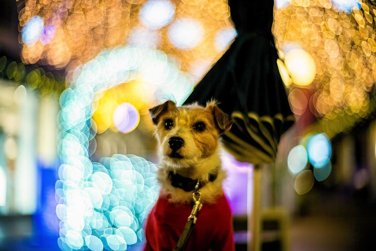 Dog Pets Domestic Animals One Animal Animal Themes Mammal Chihuahua Looking At Camera Day No People Portrait Outdoors Close-up Dog Portrait Festive Mood Festivities Dof Depth Of Field Bokeh Bokehphotography Focus On Foreground Jackrussell Jackrussellterrier Kinoko Illuminations