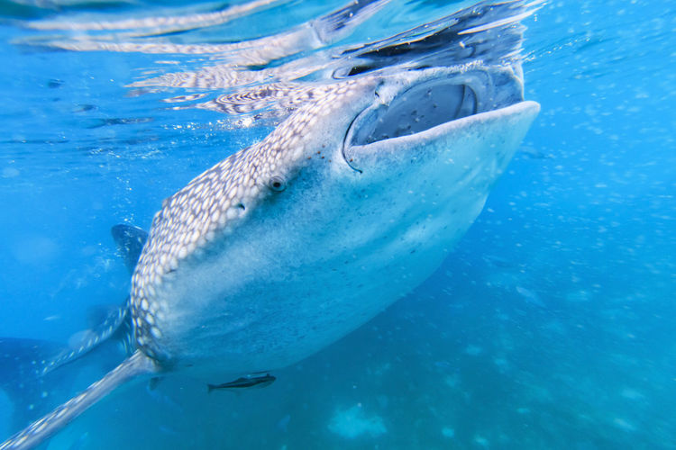 Whale shark in the Philippines, Oslob Adventure Adventure Club Animal Themes ASIA Beauty In Nature Blue Cave Close-up Fish Floating On Water Nature Oslob Outdoors Philippines Sea Sea Life Summer Summertime Swimming Tranquility UnderSea Underwater Water Water Surface Whale Shark
