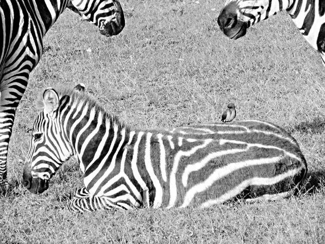 Family Zebra Animalprint Animals Nature EyeEm Nature Lover Blackandwhite Black & White Birds Animal Photography