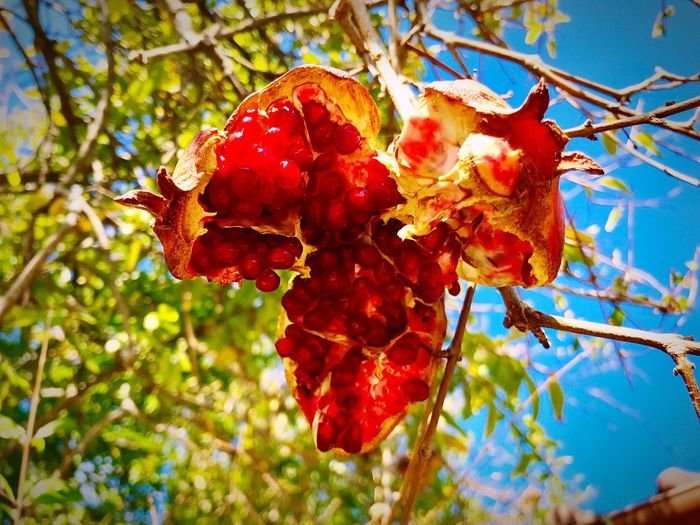 Japan Japanese Autumn 石榴 柘榴 ザクロ Pomegranate Plant Red Growth Nature Tree Beauty In Nature Fruit Freshness Food Berry Fruit Leaf EyeEmNewHere