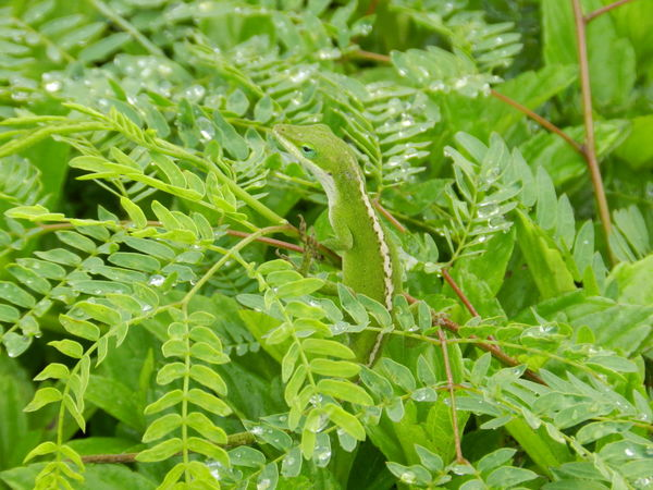 Anolis Hawaii Leaf Green Color Nature Plant Outdoors Close-up No People Animals In The Wild Day Animal Themes