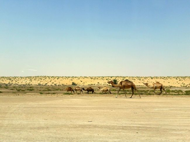 Desert Desertlife Camel Desert Landscape Deserts Around The World Desert Beauty