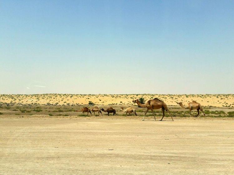 Desert Desertlife Camel Desert Landscape Deserts Around The World Desert Beauty