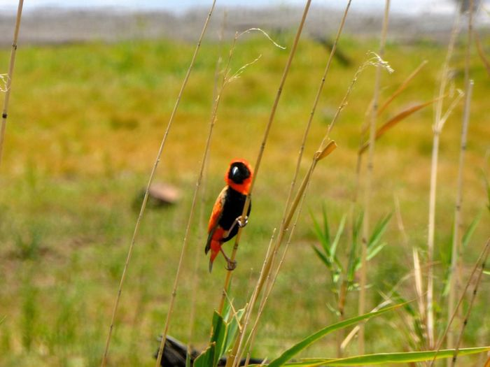 Bird on a grass halm in Nationalpark Pilanesberg Animals In The Wild Animal Themes One Animal Focus On Foreground Day Nature Close-up No People Outdoors Tiny Animal Wildlife Grass Beauty In Nature Bird South Africa Johannesburg Travel Destinations Tourism Vacations EyeEmNewHere Bird Photography Be. Ready.