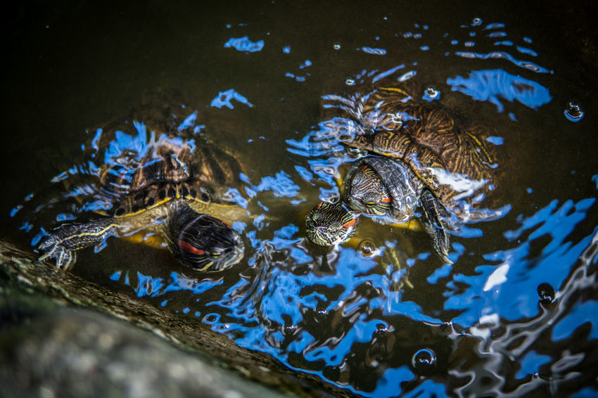 Bali INDONESIA Sigma 30mm/1.4 Amimals Hotel Lightroom Sony A6500 Turtle