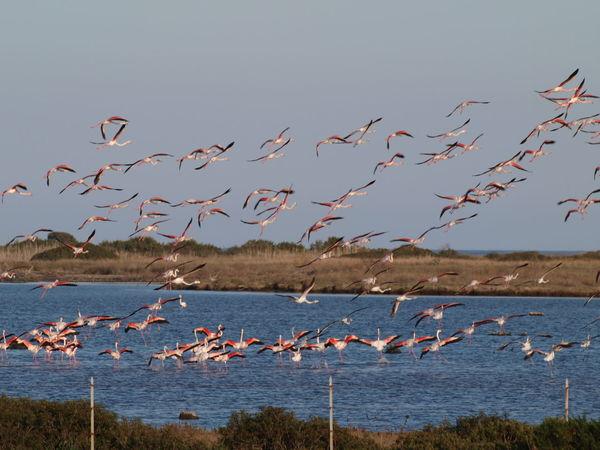 Il volo dei fenicotteri. San Teodoro, Sardegna, Italia Flamingo Flaming Sky Birds In Flight Pink Flamingos Sardinia EyeEm Birds Fenicotterorosa Fenicottero Fenicotteri Volo Libero