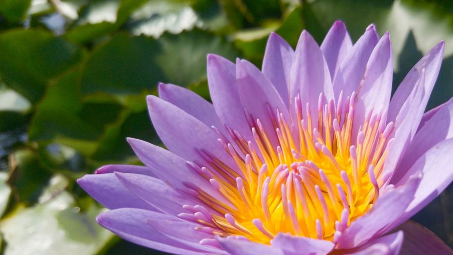 Blue Lotus Fragility Freshness Flower Petal Flower Head Close-up Beauty In Nature Purple In Bloom Springtime Blossom Vibrant Color Nature Selective Focus Stamen Water Lily Single Flower Botany Season  Growth Natural Beauty Blue Water Lily Egyption Lotus